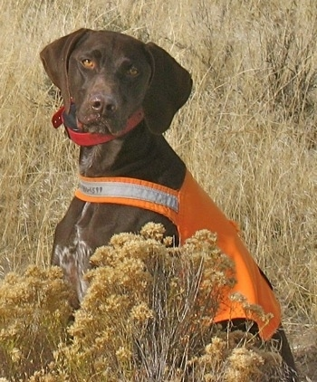 Fritz the German Shorthaired Pointer at 2 years old.