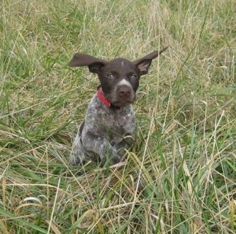 Action shot - A chocolate and white German Shorthaired Pointer puppy is running through tall grass and its ears are flopping around
