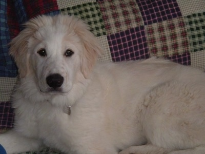 A Golden Pyrenees is laying next to a bed that has a quilt on it.