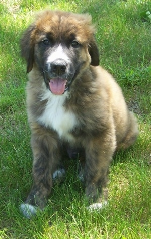 A black and brown with white Golden Saint puppy is sitting in grass panting.