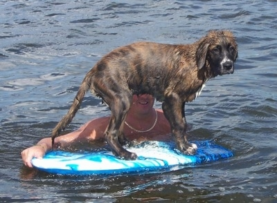 A wet black and brown brindle  with white Golden Saint puppy is in water standing on a blue boogie board that is being held still by a person.