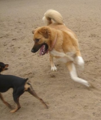 Action shot - A tan with white Great Bernese dog is jumping at a small black and tan Min Pin  dog in a playful manor. Its mouth is open and tongue is out.