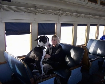 A black with white Great Dane is sitting in a train seat in front of a lady who is touching its chest