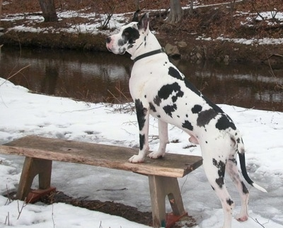 A white and black harlequin Great Dane is standing in snow with its front paws on a wooden bench with a body of water behind it