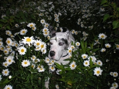 A white with gray and black harlequin Great Dane is laying down in the middle of tall daisy flowers that are growing outside at night.