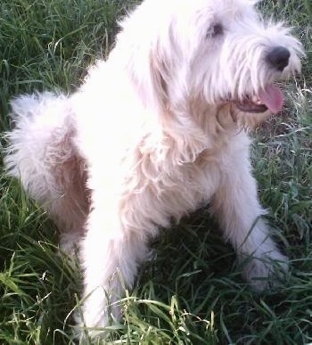 Close Up - A long-haired white Great Wolfhound puppy is sitting in grass happily panting.