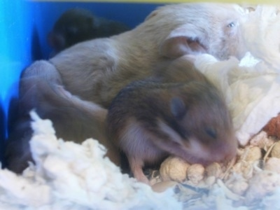 A gray Hamster is laying in a cage surrounded by its hamster puppies.