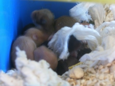 A bunch of hamster puppies are laying in the back corner of a blue box.