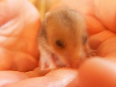 Close up - A Hamster puppy that is in the hand of a person.