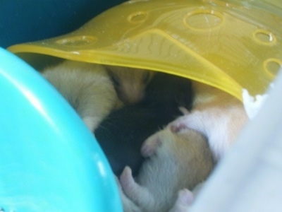 A bunch of Hamster puppies are laying in a row in a yellow tube.