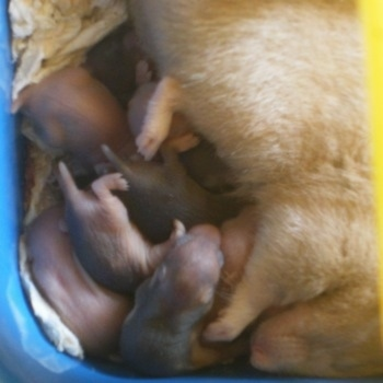 Close up - An adult mother hamster is laying next to her batch of newborn hamster puppies feeding them.