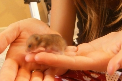 A tiny Hamster puppy with its eyes open is walking across the hand of a person.
