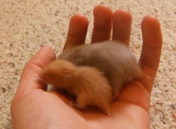 Two hamster puppies of different sizes are being held in the hands of a person on a carpet.