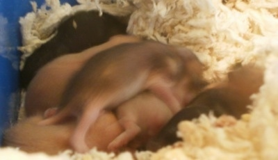 A pile of newborn Hamster puppies are laying across a blue box that has tissues at the bottom of it.