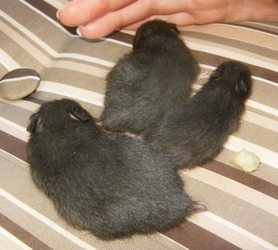 Twinkie's black hamster pups at 21 days old.