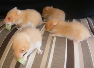 Four cinnamon Hamster puppies are chewing on lettuce and standing on a couch.