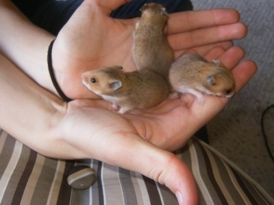 Three brown with tan and white Hamster puppies are standing butt to butt to butt in a persons hand.