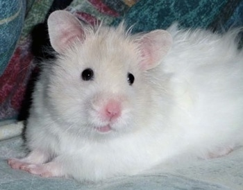 Iggy the Teddy Bear Hamster at 4 months old.