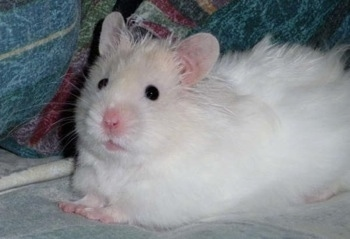 Pictures Of Keeping Hamsters As Pets 1
