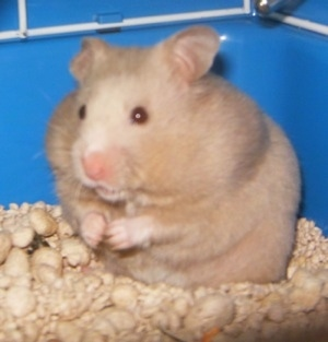 Close up - A tan Hamster is standing on wood chips in a blue box. It is looking to the left. Its cheeks are full of food.