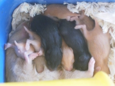 Hamster puppies are laying on top of each other in a pile feeding from the mother hamster.