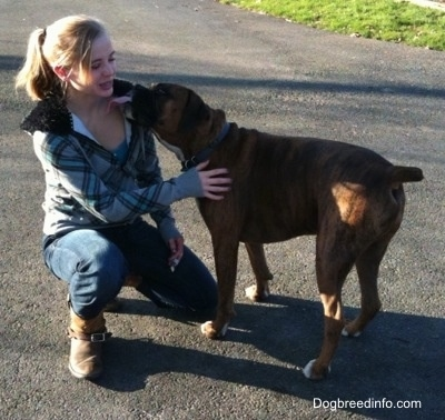 The left side of a brown brindle with white Boxer licking a lady in the face