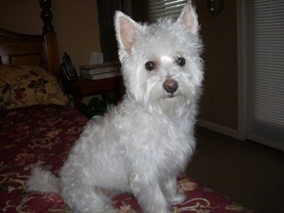 Cali the Highland Maltie (West Highland White Terrier/Maltese mix) at 18 months old weighing 10 pounds.