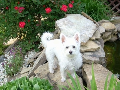 A perk-eared white Highland Maltie is standing on a rock next to a small pond with a red rose bush behind it.
