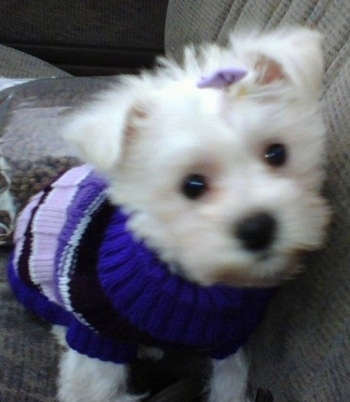 A white Highland Maltie is wearing a purple sweater and a purple bow on its head sitting in a passenger seat of a car with a bag of kibble dog food behind it.