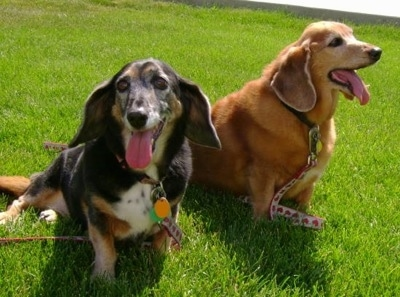A black and tan with white and a gold Hush Basset are sitting in grass. They are both panting