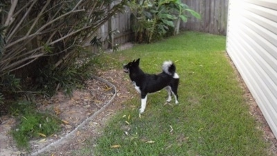 A black with white Huskimo is standing in grass between a white sided house and a large bush.