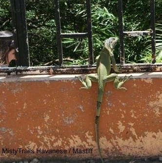 A green Iguana is standing on a concrete surface looking out of a metal gate.