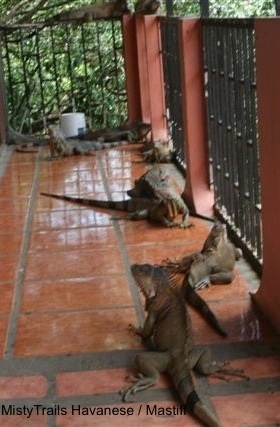 A herd of Iguanas are laying across a bannister on a porch. Some of the Iguanas are laying on the railings.