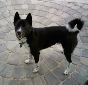 A black with white Imo-Inu is standing on a gray flag stone sidewalk. Its mouth is open.