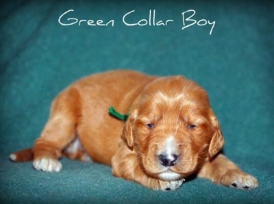 A small red with white Irish Doodle puppy is laying down on a green backdrop. The words - Green Collar Boy - are overlayed