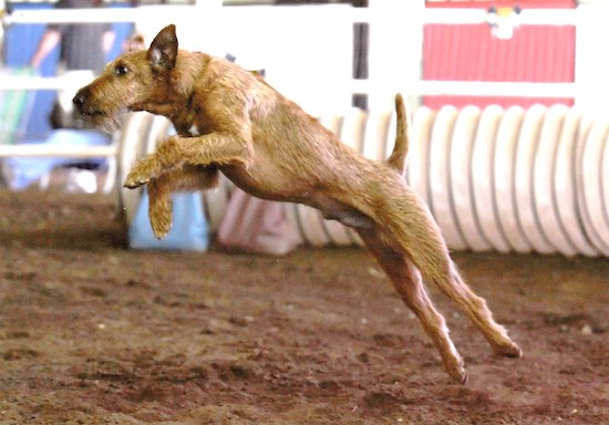 Action shot - An Irish Terrier is jumping in dirt on an obstacle course