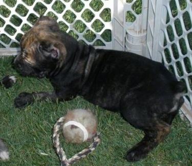 A black brindle Italian Bulldogge puppy is laying in grass against a plastic white x-pen cage with a tennis ball on rope next to it