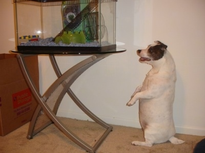 A pudgy white with brown Jack Russell Terrier is sitting on its hind legs inside of a room that has a tan carpet and looking into a hamster cage