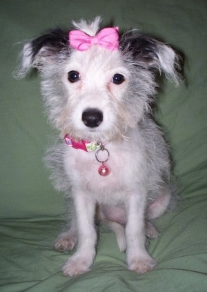 Pasquina a Jack-a-Poo (Jack Russell and Poodle mix) puppy at 3 1/2 months old, weighing 4 pounds.