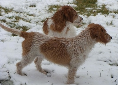 Two tan and white Jack-A-Bees are standing in snow looking to the right