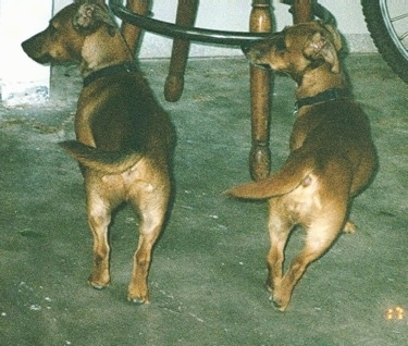 Two tan with white Jackshund dogs are standing in the same pose facing a wooden chair with their tails and heads to the right. There is a bicycle to the far right of them.