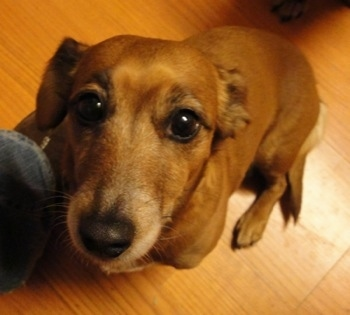 A tan with white Jackshund is sitting in front of a persons leg  on a hardwood floor looking up.