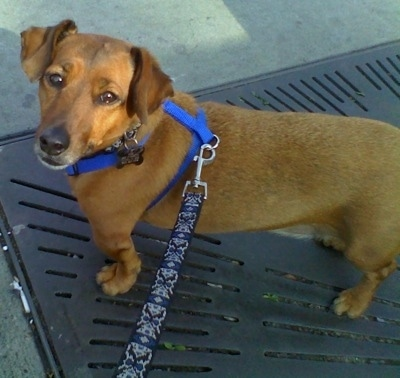 A tan with white Jackshund is wearing a blue harness standing on a storm drain grate and is looking up
