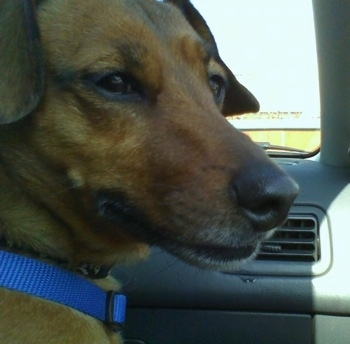 Close Up head shot - A tan with white Jackshund is wearing a blue collar sitting in the passenger seat of a vehicle and looking out of the passenger side window.