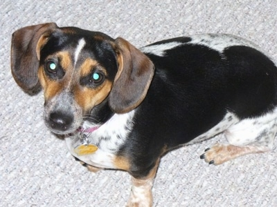 A tri-color ticked white and black with a tan Jackshund is sitting on a gray carpet and looking up