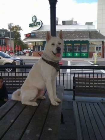 The right side of a white Japanese Akita Inu that is wearing a bandana, sitting on a bench top and it is looking forward.
