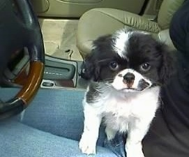 A white and black Japillon puppy is sitting in the lap of a lady sitting in the driver side of a vehicle