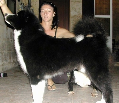 A black with white Karelian bear Dog is standing on a tiled floor and there is a lady behind it posing the dog
