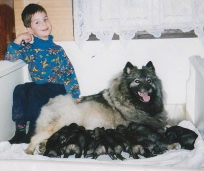 A boy is sitting next to a Keeshond in a wooden white whelping box as a litter of puppies nurse from her.
