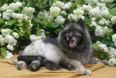 A happy looking Keeshond dog is laying outside on a blanket in front of a flower bush with four puppies laying under her. The Keeshonds mouth is open and tongue is out.